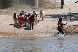 9 asırdır devam eden sudan koyun geçirme yarışması renkli geçti