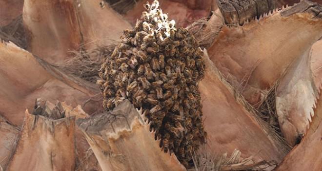Arılar, kentin en işlek yerlerinden birindeki ağaca oğul verdi