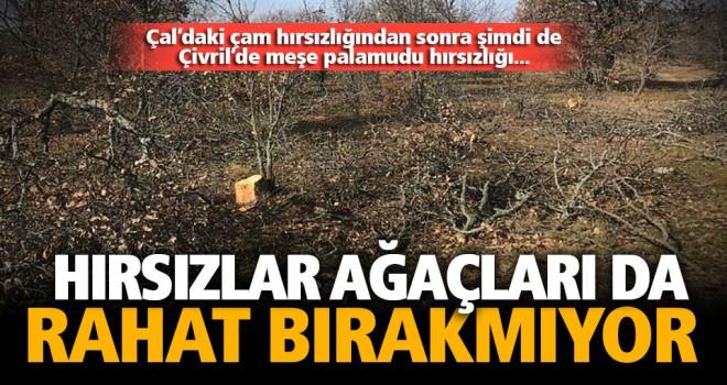 Hırsızlar 30 meşe palamudu ağacını talan etti